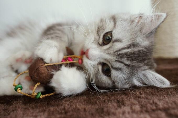 おもちゃで遊んでる猫