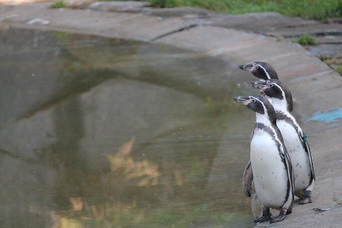 ペンギン3羽