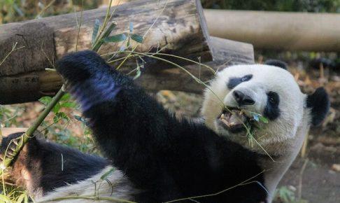 笹を食べているパンダ