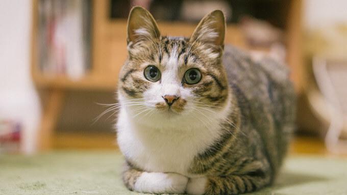 こちらを向いている猫
