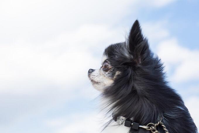 空を見上げるチワワ